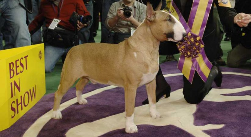 2021 Westminster Kennel Club Dog Show Live Streams Reddit: Thanksgiving Dog Show Online Without Cable